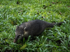 Millions of these little critters were running around. They are called coatis.