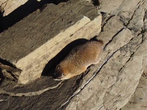 NOT a beaver but a groundhog