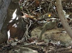 a mongoose!